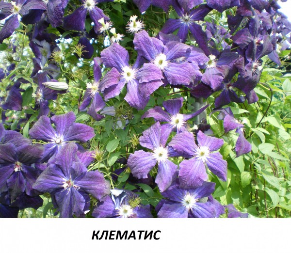Клематис 2.jpg