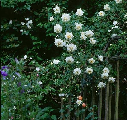 Вьющаяся роза Белая