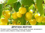 Дрогана желтая.jpg