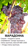 марадона.png