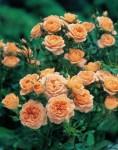 Вьющаяса роза Оранжевая